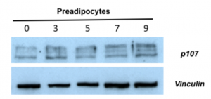 p107 during adipocyte differentiation