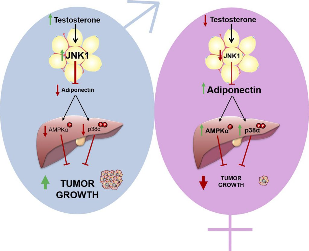 Adiponectin accounts for gender differences in liver cancer